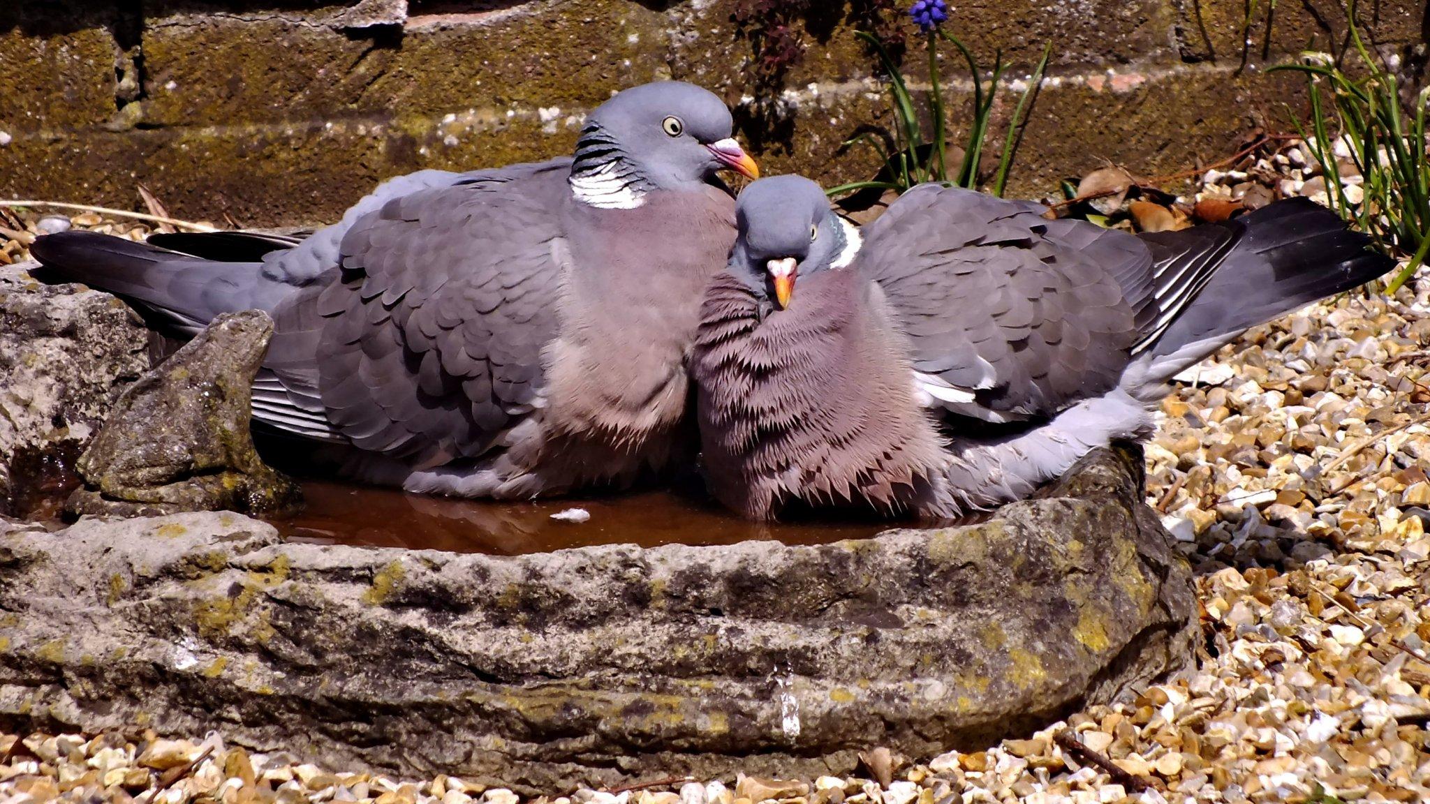 20130425-pigeons-bathing-dscf5080