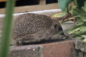 2016-09-24 Hedghog in the garden