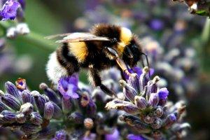 2017-07-30 Bumblebees